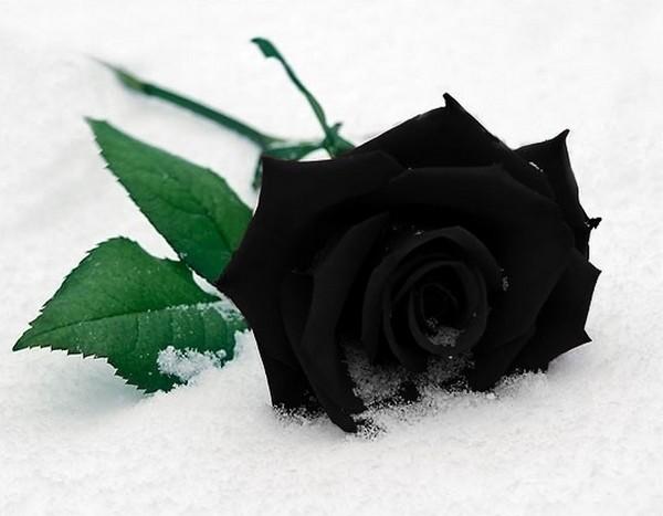 czarne róże gotyckie, black roses